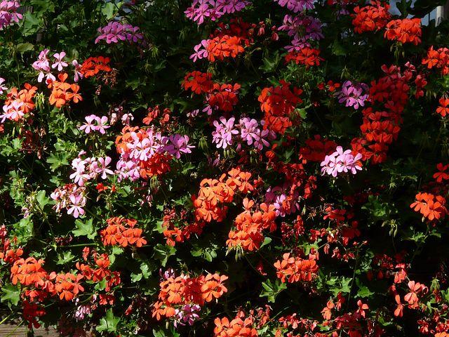 blühfreudige Sommerblumen alt=